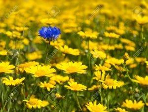 67373195 fiori selvatici gialli riempiono ogni pollice di questo prato per quanto l occhio può vedere ad ecce